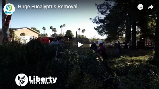 Huge Eucalyptus Tree Removal