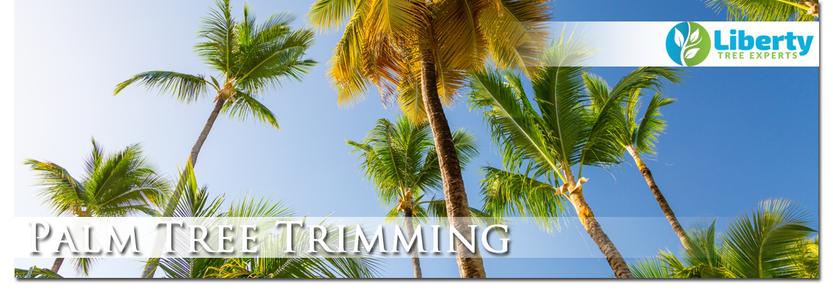 Palm Tree Trimming & Removal Scottsdale Arizona - Liberty Tree Experts