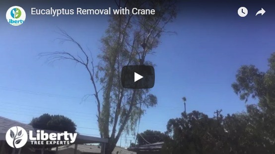 Eucalyptus Tree Removal with Crane