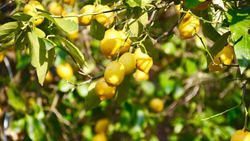 Can You Grow Lemon Trees In Arizona?